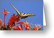 Spicebush Swallowtail Greeting Cards - Swallowtail Butterfly Greeting Card by John  Kolenberg