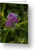 Swamp Milkweed Greeting Cards - Swamp Milkweed Greeting Card by Brian Peterson