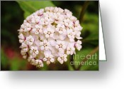 Swamp Milkweed Greeting Cards - Swamp Milkweed Greeting Card by Caroline Ferrante