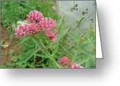 Swamp Milkweed Greeting Cards - Swamp milkweed Greeting Card by Matt Berry