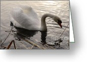 Canada Swan Greeting Cards - Swan Along The Shore Greeting Card by Bob Christopher