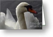 Canada Swan Greeting Cards - Swan Closeup Greeting Card by Bob Christopher