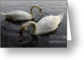 Canada Swan Greeting Cards - Swan Duet Greeting Card by Bob Christopher