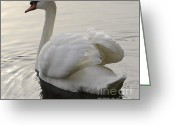 Canada Swan Greeting Cards - Swan Elegance Greeting Card by Bob Christopher