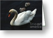 Canada Swan Greeting Cards - Swan Family 1 Greeting Card by Bob Christopher