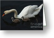 Canada Swan Greeting Cards - Swan Family 2 Greeting Card by Bob Christopher