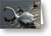 Canada Swan Greeting Cards - Swan Family 3 Greeting Card by Bob Christopher