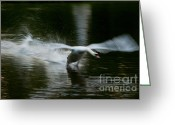 Nymphenburg Greeting Cards - Swan in motion Greeting Card by Andrew  Michael