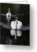 Lake Photographs Greeting Cards - Swan Pair 2 Greeting Card by Rob Travis