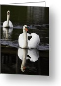 Lake Photographs Greeting Cards - Swan Pair Greeting Card by Rob Travis