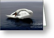 Seabirds Digital Art Greeting Cards - Swan Posing Greeting Card by Dale   Ford