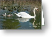 Beautiful Birds With Babies Greeting Cards - Swan scenic Greeting Card by Andrew  Michael