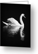 Still Water Greeting Cards - Swan Swimming Greeting Card by Joe Fox
