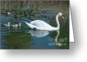 Lake With Reflections Greeting Cards - Swan with cygnets Greeting Card by Andrew  Michael
