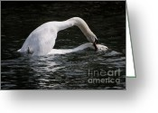 Love Making Greeting Cards - Swans making love Greeting Card by Mats Silvan