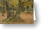 Old Tree Trunk Photo Greeting Cards - Sweet Chesnut (castanea Sativa) Greeting Card by Bob Gibbons