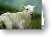 Newborn Greeting Cards - Swet Little Lamb Greeting Card by Angel  Tarantella