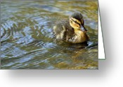 Duckling Greeting Cards - Swimming Duckling Greeting Card by © Esther Moliné