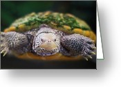 May Greeting Cards - Swimming Turtle Facing Camera Greeting Card by Greg Adams Photography