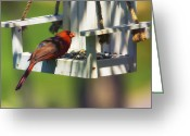 Cardinal Greeting Cards - Swingin Cardinal Greeting Card by Bill Tiepelman