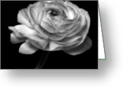 Flowers Flowers And Flowers Greeting Cards - Symphony - Black And White Roses Flowers Macro Fine Art Photography Greeting Card by Artecco Fine Art Photography - Photograph by Nadja Drieling
