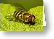 Stripes Greeting Cards - Syrphus Ribesii Greeting Card by Gert Lavsen