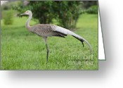 Sandhill Crane Greeting Cards - Ta Da Greeting Card by Carol Groenen