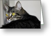 Big Cats Greeting Cards - Tabby Greeting Card by Craig Incardone
