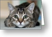 Indoors Photo Greeting Cards - Tabby Kitten Greeting Card by Jody Trappe Photography