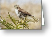 Red Tail Hawks Photo Greeting Cards - Tail Display Greeting Card by CR  Courson