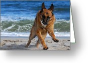 Sand Beaches Greeting Cards - Take Off With A Clam Shell - German Shepherd Dog Greeting Card by Angie McKenzie
