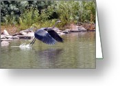 Blue Heron Photo Greeting Cards - Taking Off  Greeting Card by James Steele