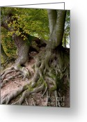 Forest Floor Photo Greeting Cards - Taking root Greeting Card by Heiko Koehrer-Wagner