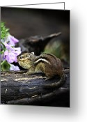 Squirrel Photographs Greeting Cards - Taking Time to Smell the Flowers Greeting Card by Rob Travis
