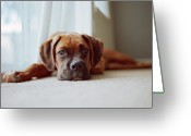 Boxer Greeting Cards - Tan Boxer Puppy Laying On Carpet Near Window Greeting Card by Diyosa Carter