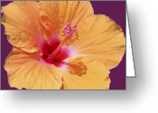 Beautiful Purples Greeting Cards - Tangerine Hibiscus Greeting Card by Karen Nicholson