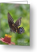 Spicebush Swallowtail Greeting Cards - Tap Dance On A Zinnia Greeting Card by Kathy Gibbons