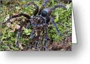 Sp Greeting Cards - Tarantula Pamphobeteus Sp Male, Mindo Greeting Card by James Christensen
