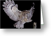 Bird Of Flight Greeting Cards - Tawny Owl Strix Aluco Landing, England Greeting Card by Kim Taylor