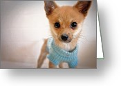 Chihuahua Greeting Cards - Teacup Chihuahua In Blue Sweater Greeting Card by Susan Sabo Photography