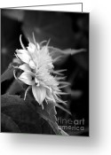 Teddybear Greeting Cards - Teddybear Sunflower Black and White Greeting Card by Marjorie Imbeau