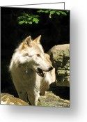 Playful Wolves Greeting Cards - Telling Greeting Card by Debra     Vatalaro