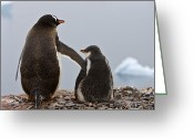 Pygoscelis Papua Greeting Cards - Tender Moment, Gentoo Greeting Card by Ralph Lee Hopkins