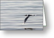 Tern Greeting Cards - Tern Flyby Greeting Card by Mark J Seefeldt
