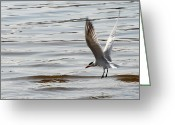 Tern Greeting Cards - Tern Landing Greeting Card by Mark J Seefeldt