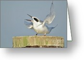Tern Greeting Cards - Tern on Post Greeting Card by Dave Gigliotti