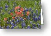 Blue Bonnets Greeting Cards - Texas Blue Bonnets and Indian Paint Brush Greeting Card by Linda Phelps