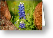 Texas Wildflowers Greeting Cards - Texas Bluebonnet Greeting Card by Jon Holiday