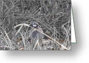 Quail Greeting Cards - Texas Bobwhite Quail Greeting Card by Douglas Barnard