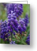 Texas.photo Photo Greeting Cards - Texas Dew Grape Hyacinth Greeting Card by Robyn Stacey